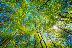 Sunny Canopy Of Tall Trees. Sunlight In Deciduous Royalty Free Stock Photo