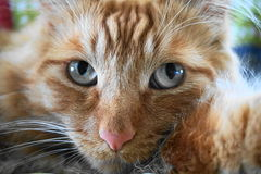 Sunny the Cat - Orange Tabby with Blue Eyes Royalty Free Stock Image