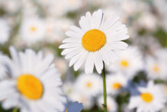 Sunny chamomile. Closeup of sunny chamomile on a green meadow Stock Photography