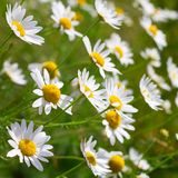 Sunny chamomile flowers close-up Stock Photography