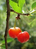 Sunny cherries Royalty Free Stock Photo