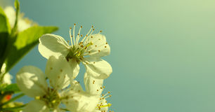 Sunny cherry blossom Royalty Free Stock Photo