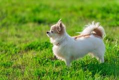Sunny  Chihuahua dog on summer  nature background Royalty Free Stock Photo