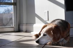 Beagle relaxing at a doggie day care and spa. On a sunny but chilly winter day, a contented dog naps near the entrance to a dog day care facility in Atlanta stock images