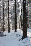 A sunny Christmas Day. Snow winter forest Royalty Free Stock Photography