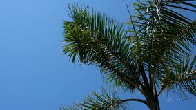 Sunny clear day on a warm tropical island. The wind sways the branches and leaves of palm trees.