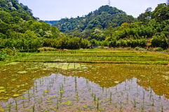 Sunny & Clear Paddy rice field with hills Royalty Free Stock Image