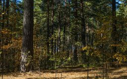 Sunny Clearing In The Forest em sombras de Autumn Day With Pine Trees fotografia de stock royalty free