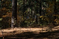 Sunny Clearing In The Forest på en Autumn Day With Pine Trees skuggar royaltyfria bilder
