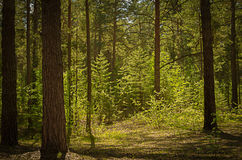 Sunny clearing in the forest on a summer day royalty free stock image
