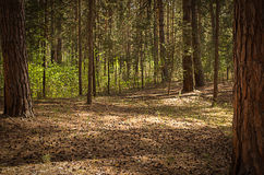 Sunny clearing in the forest on a summer day with shadows. From the pine trees royalty free stock photography