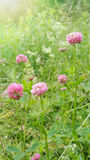 Sunny clover flowers Stock Image