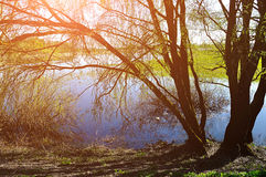 Sunny colorful spring landscape - willow under sunshine on the b Royalty Free Stock Photography