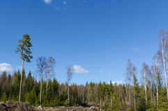 Sunny coniferous forest Stock Image