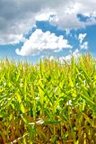 Sunny Corn and Approaching Raincloud Stock Photography