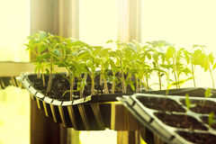 Sunny and cosy tomatoes seedling in cassettes Stock Photo