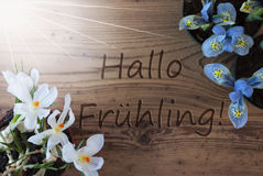 Sunny Crocus And Hyacinth, Hallo Fruehling Means Hello Spring. Wooden Background With German Text Hallo Fruehling Means Hello Spring. Sunny Spring Flowers Like royalty free stock images