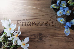 Sunny Crocus And Hyacinth, Pflanzzeit Means Planting Season. Wooden Background With German Text Pflanzzeit Means Planting Season. Sunny Spring Flowers Like Grape Royalty Free Stock Photos