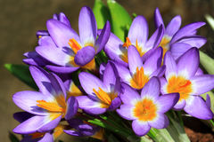 Sunny crocuses flowers Royalty Free Stock Photography
