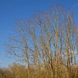 Curly bare tree crowns against a clear blue sky Royalty Free Stock Photography