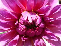 Sunny dahlia Royalty Free Stock Photo