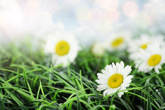 Sunny Daisies Photo libre de droits