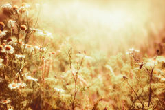 Sunny daisies flowers and sunbeam. Late summer country landscape, outdoor. Nature Stock Photo