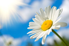 Sunny daisy Royalty Free Stock Photos