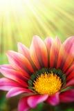 Sunny Daisy Royalty Free Stock Image