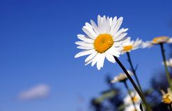 A sunny daisy on a blue sky background Stock Photography