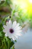 Sunny daisy flower Stock Image