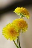 Sunny dandelion Stock Image