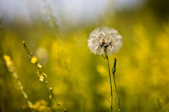 Sunny dandelion on the field. This is sunny dandelion on the field. There are bright yellow flowers around it Stock Photography