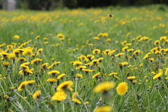 Sunny dandelion field Stock Photo