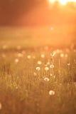 Sunny dandelion field in spring Royalty Free Stock Photos