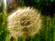 Sunny dandelion Stock Images