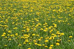Sunny dandelion lawn royalty free stock photography
