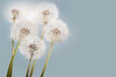 Sunny dandelions stock image