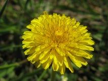 Sunny dandelions Stock Photo