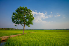 Sunny dawn in a field in Thailand Stock Image