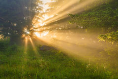 Sunny dawn in a foggy forest in spring Royalty Free Stock Photo