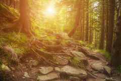 Sunny dawn in a foggy forest royalty free stock images