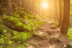 Sunny dawn in a foggy forest in spring Royalty Free Stock Image