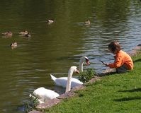 Sunny day. Little girl and two swans near the river Stock Images