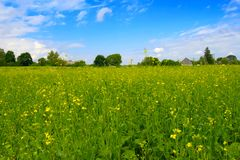 Sunny day. Green field with yellow rapeseed flowers Stock Photo