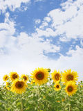 Sunny day. Photo of sunflowers field with blue sky at sunny day Royalty Free Stock Image