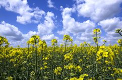 Sunny Day At The Blooming Canola Field.Closeup Of Canola Flowers Against Blue Cloudy Sky Stock Photo