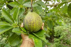 On A Tree One Single Avocado Among Leaves In The Palm stock photo
