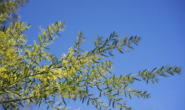 Sunny day background Australian wattle Stock Image
