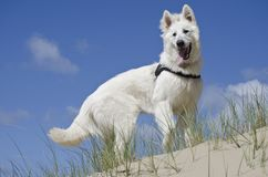 Swiss White Shepard in the dunes. On a sunny day at the beach having fun with my Swiss White Shepard in the dunes Stock Images